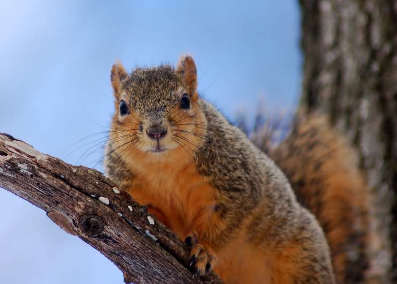 Fox squirrel in the tree