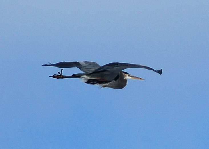 Great blue heron in the air