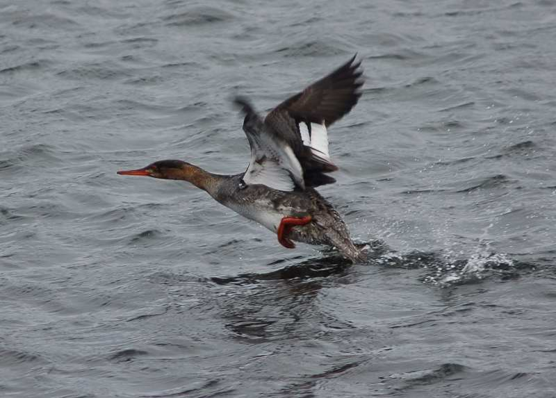 Female red-breasted merganser taking flight