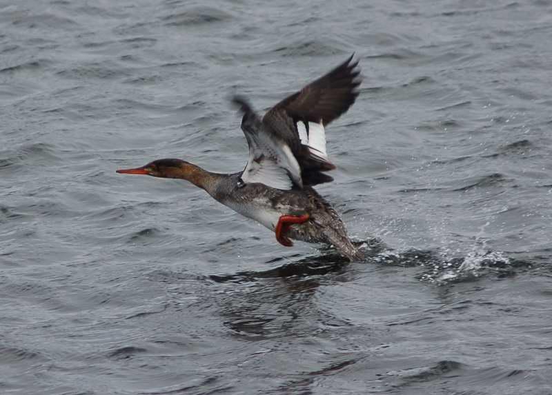 Female red-breasted merganser taking flight