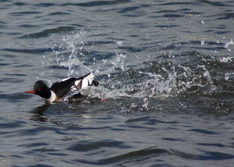 Male red-breasted merganser landing