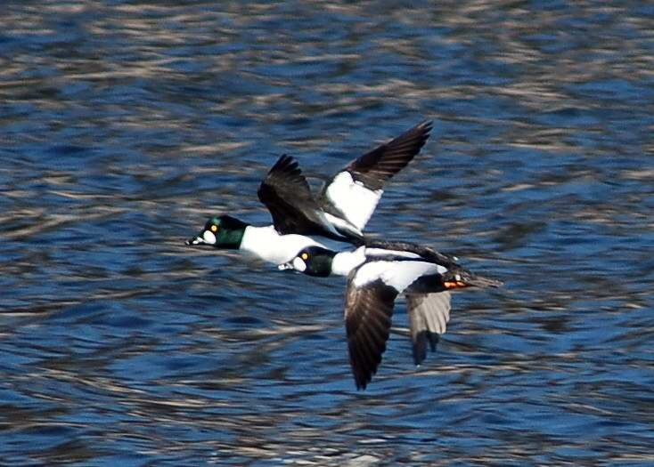 Male Common Goldeneyes in flight