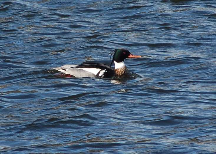 Male red-breasted merganser with a droopy crest