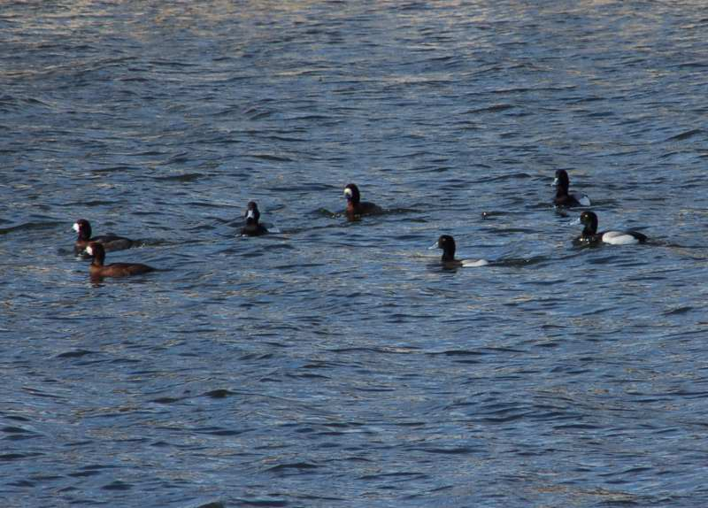 A Male lesser scaup, third from right, in a flock of greater scaup