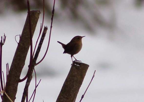 Winter wren dancing