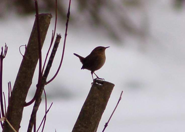 Winter wren dancing