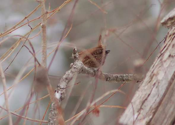 Winter wren partially hidden in the brush
