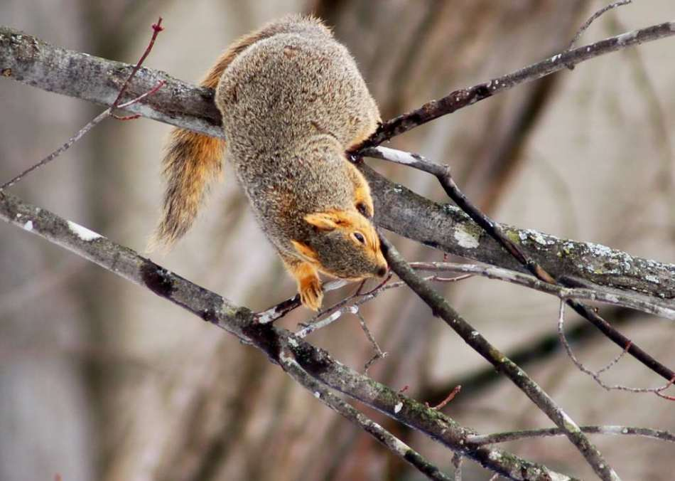 Fox squirrel drinking from water drops