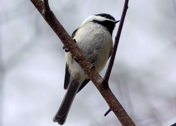Black capped chikadee