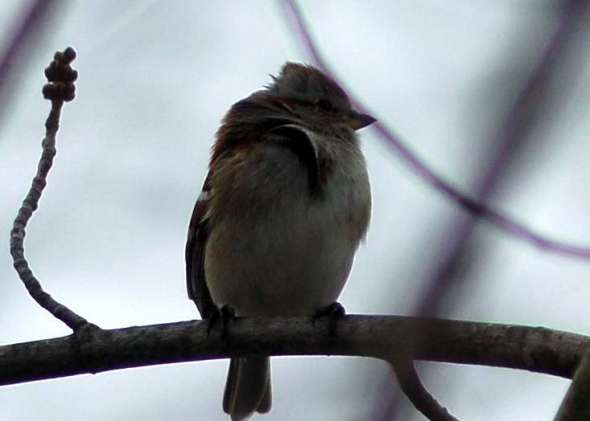 American tree sparrow in the wind