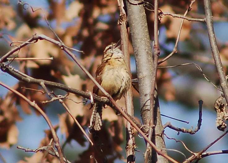 Male Carolina wren in full song