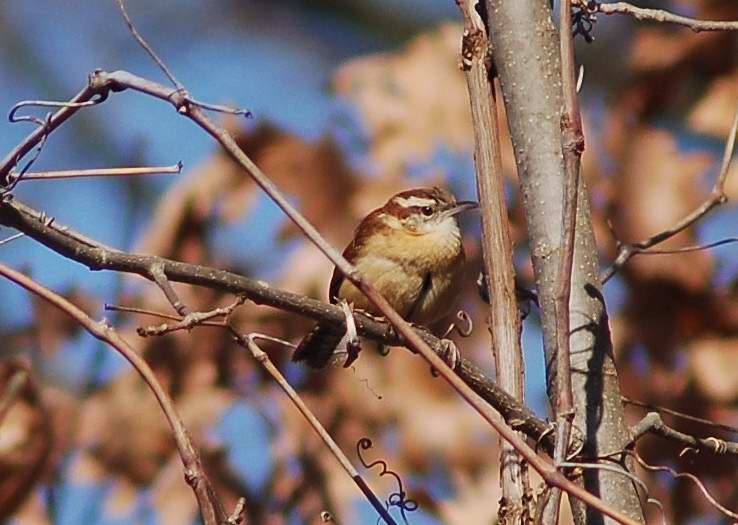 Male Carolina wren