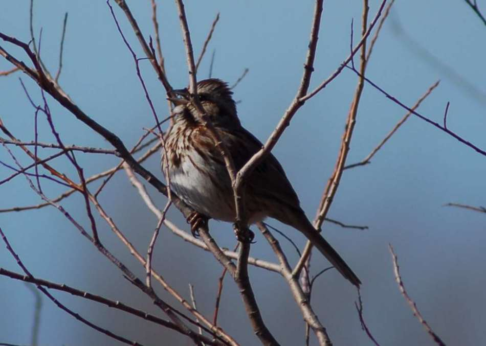 Song sparrow living up to its name
