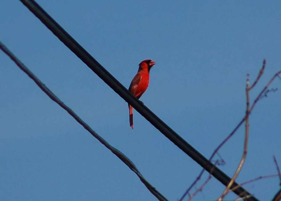 Male northern cardinal in full song