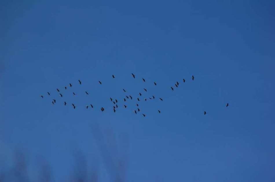 Sandhill cranes headed north
