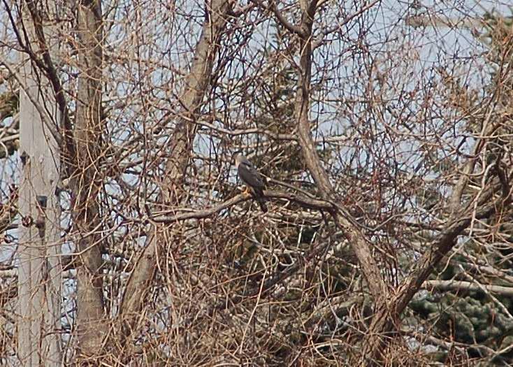 Peregrine falcon?