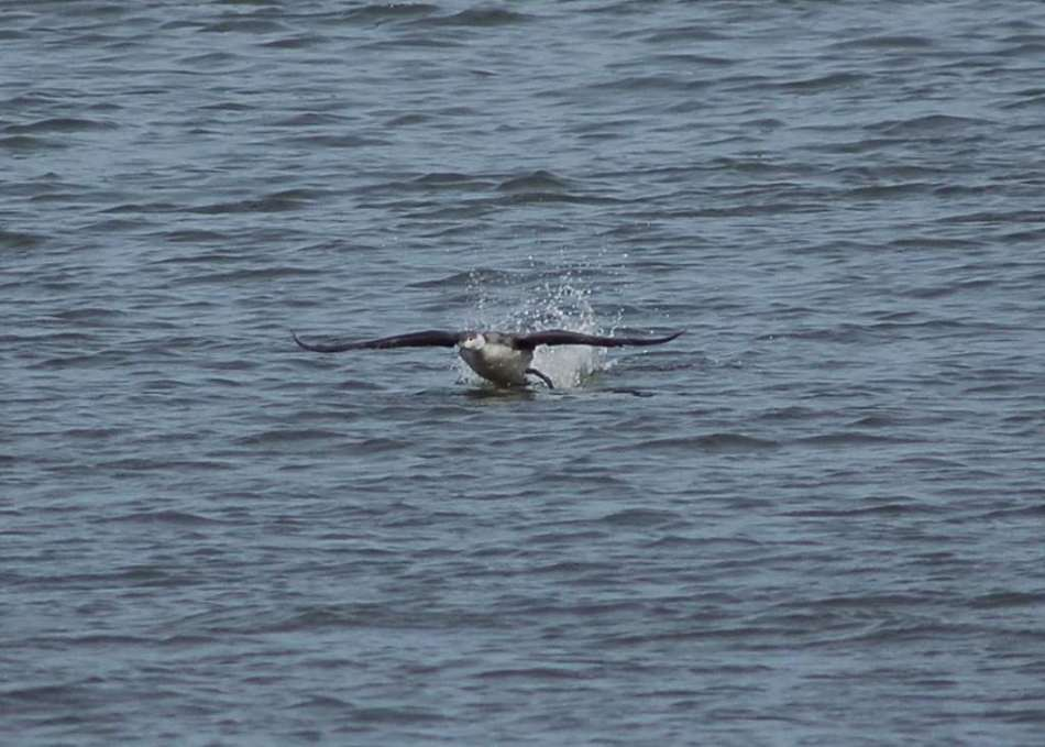 Red-throated Loon taking off