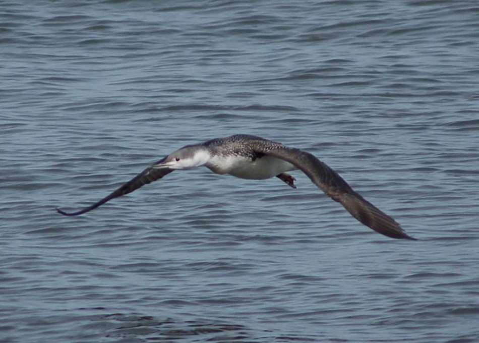 Red-throated Loon in flight
