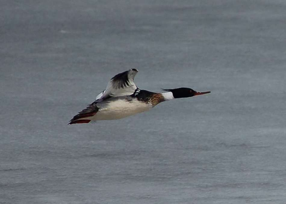 Male red breasted merganser in flight