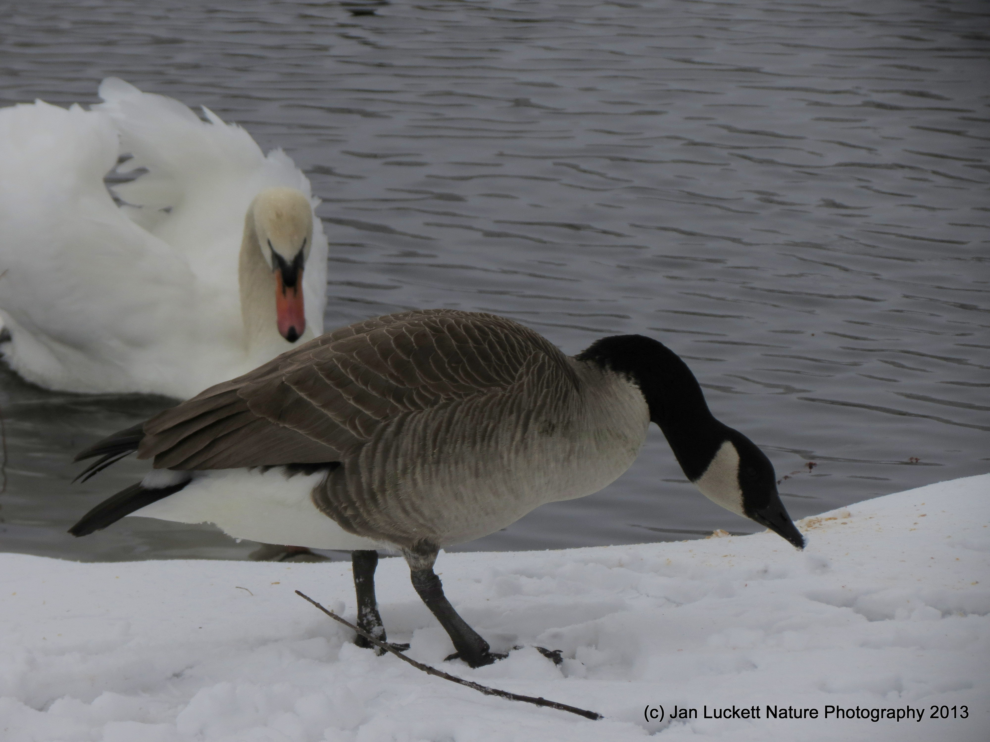 Swans Have Come Back >> Mute Swans vs. Canada Geese | Quiet Solo Pursuits
