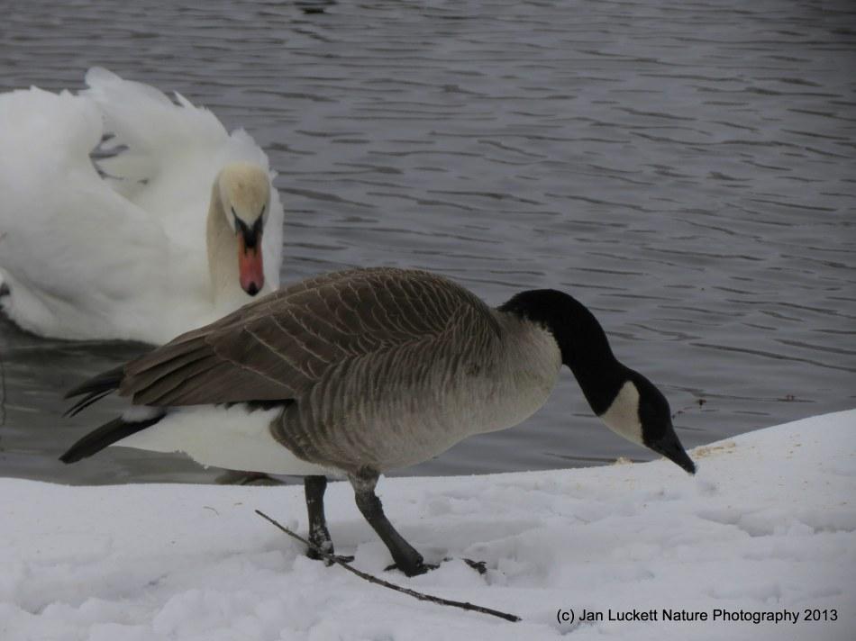 Swan ambush