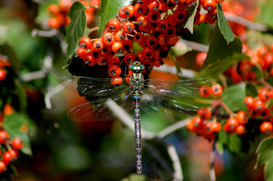 Dragonfly on mountain ash berries