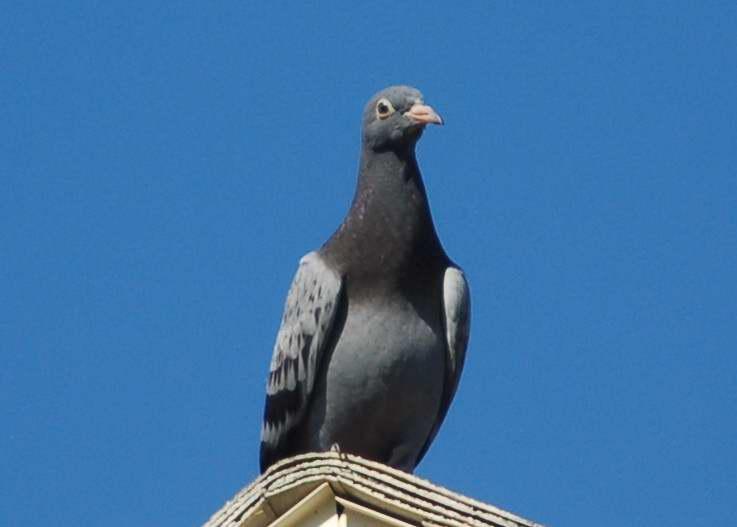 Rock dove or pigeon