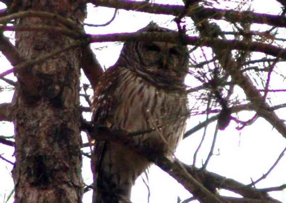 Barred owl, purple branches in foreground