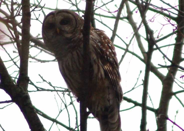 Barred owl, green branches in background