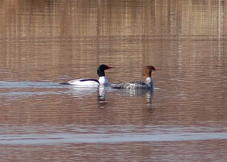 Male and Female common merganser