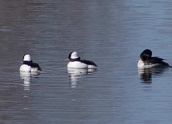 Male and female bufflehead ducks