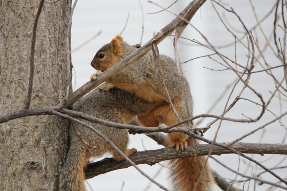 Fox squirrel foreplay