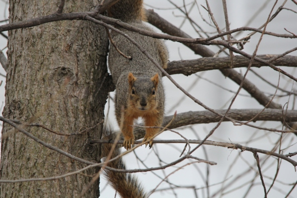 Upset male Fox squirrel