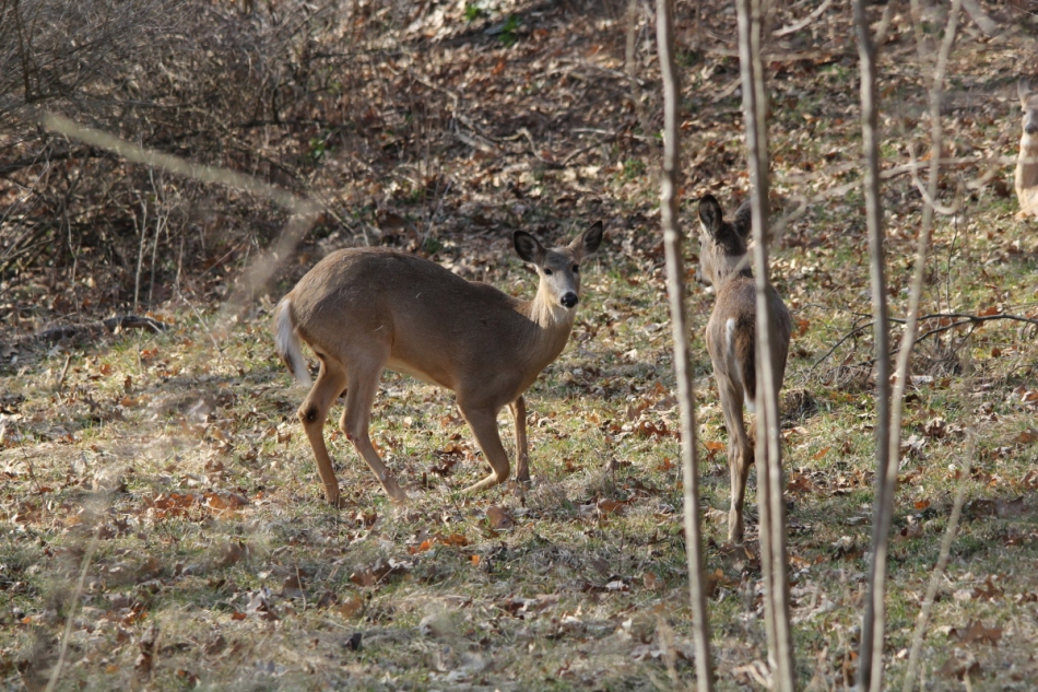 Whitetail deer getting up from her nap