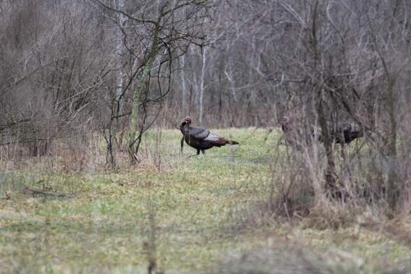 Wild turkey in the rain
