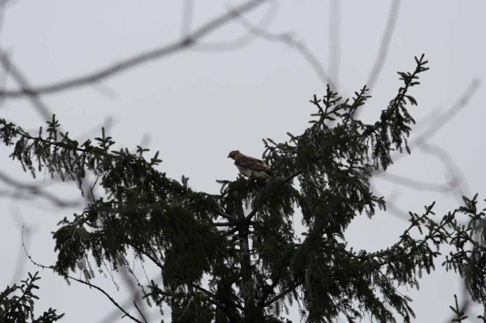 Red-tailed hawk, uncropped