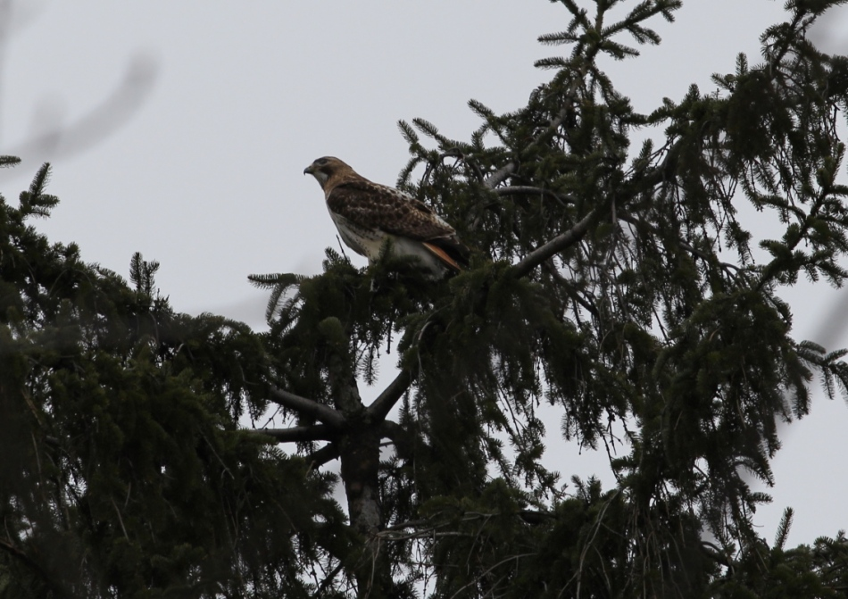 Red-tailed hawk, cropped