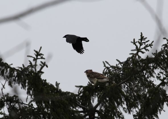 Crow attacking a red-tailed hawk