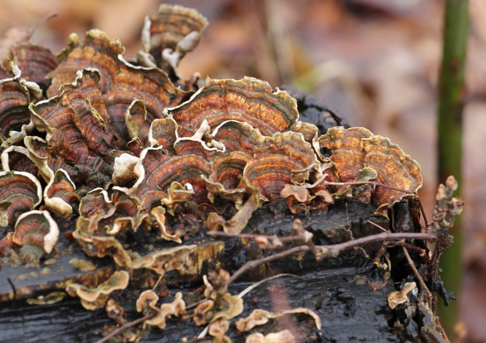 Turkey tail fungus?