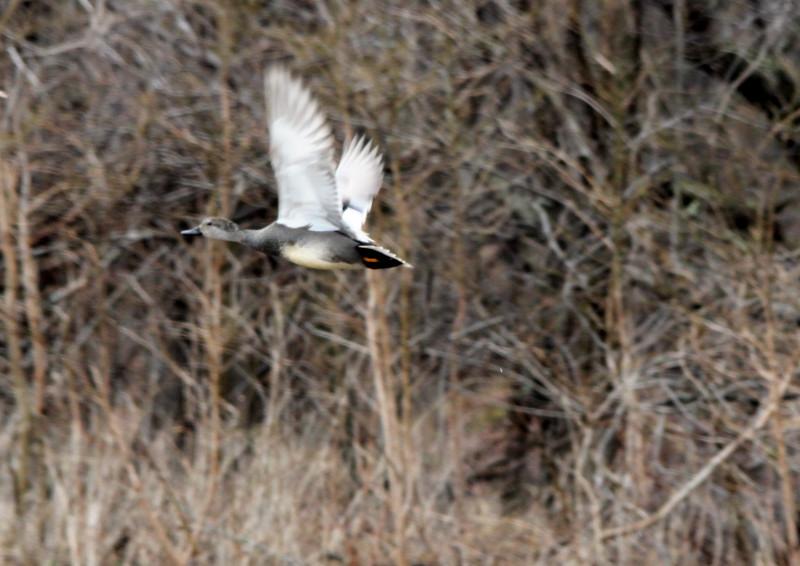 Female gadwall in flight