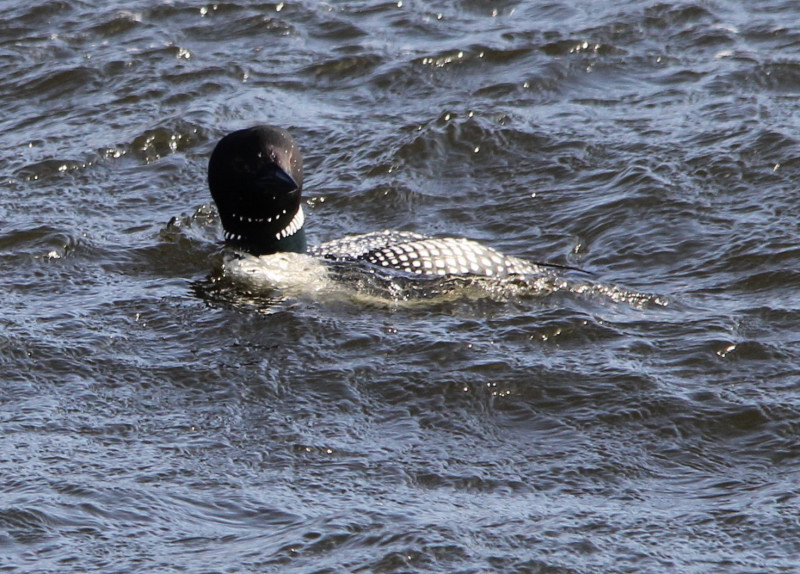 Common loon cropped