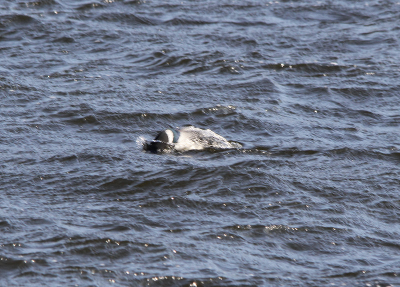 Common loon diving