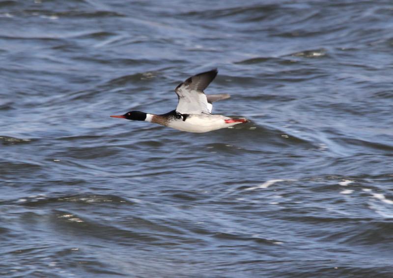 Male red-breasted merganser in flight