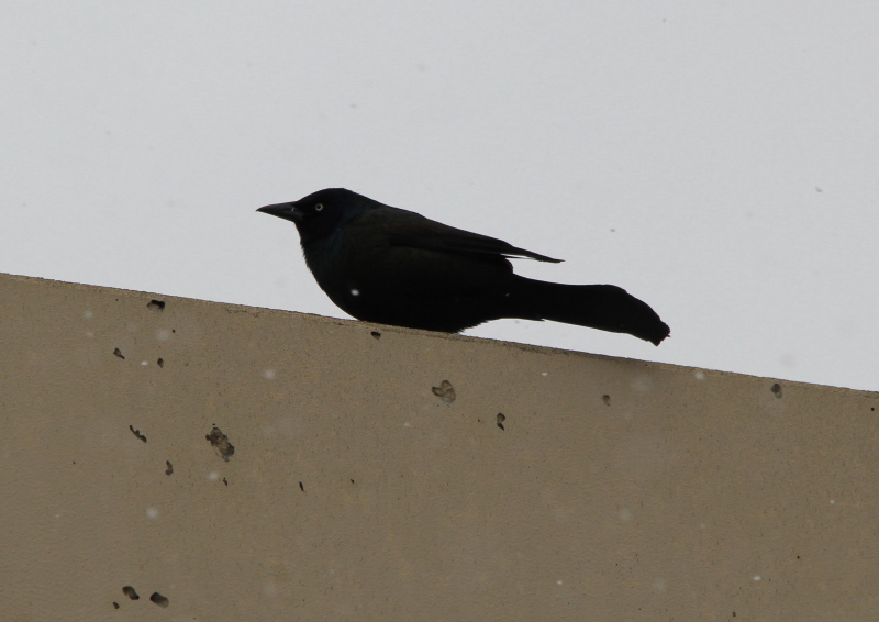 Common grackle watching the snowflakes blow past it.