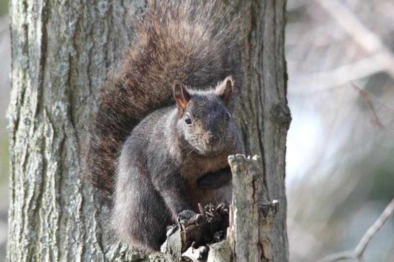 Black phase of a grey squirrel