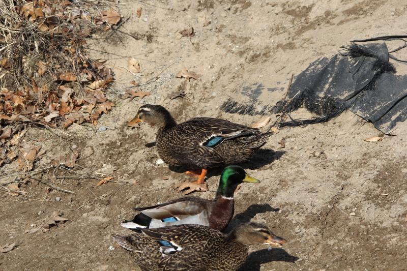 American Black ducks and mallard