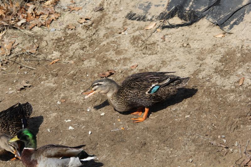 American Black duck and mallard