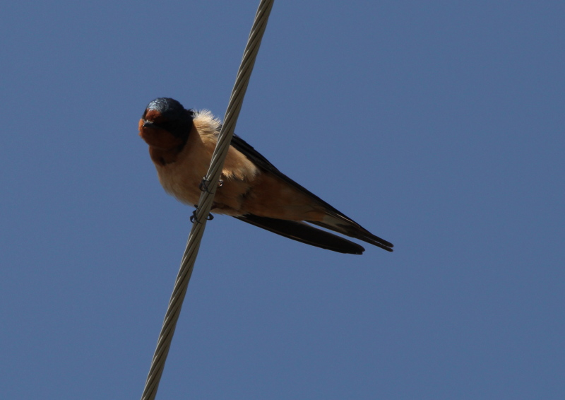 Barn swallow wondering what the heck was being pointed at it