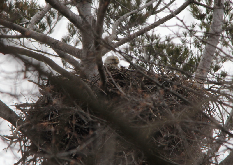 Female eagle on nest