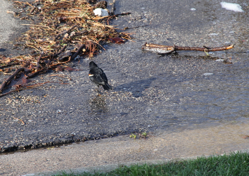 Red-winged blackbird in the floodwaters